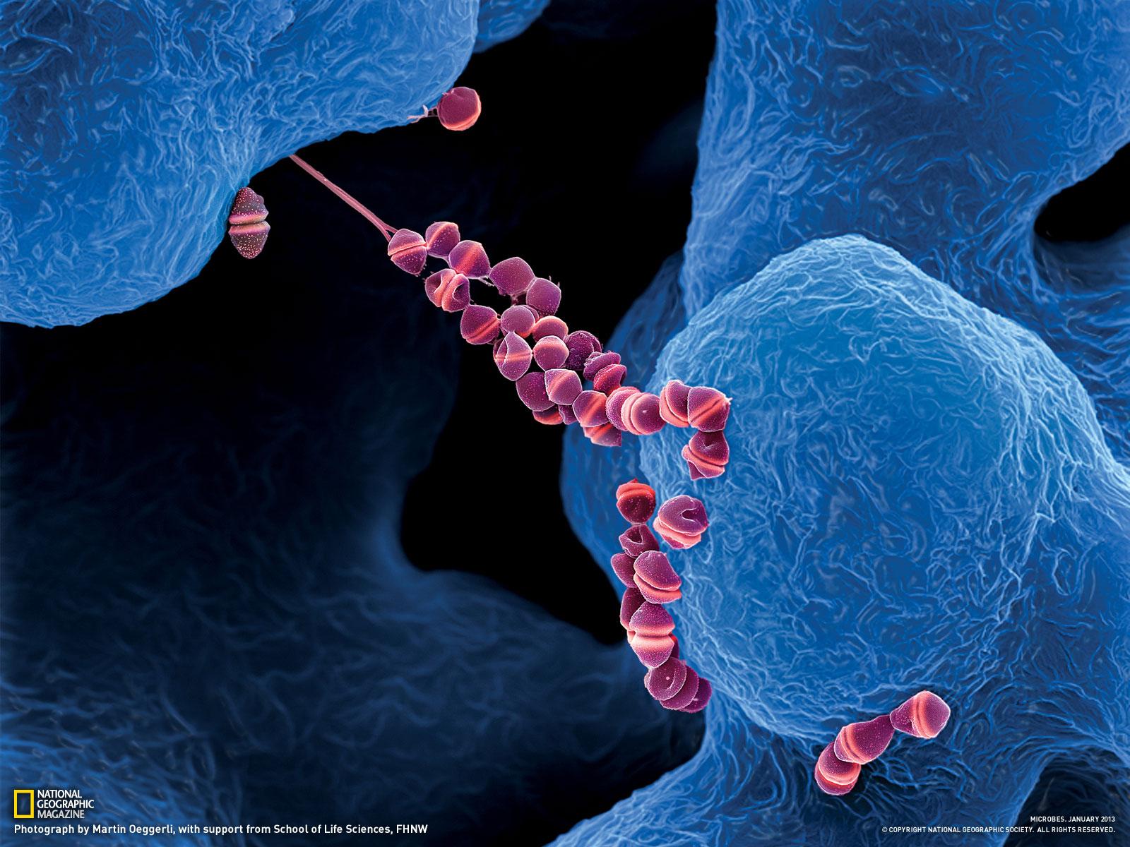 Бактерии в сперме они
